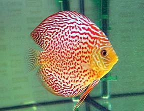 Обои на телефон золотые рыбки